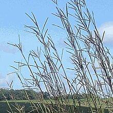 Farmerly 1000 Big Bluestem Native Grass Seeds