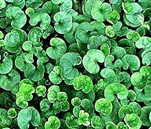 Farmerly 1000 Seeds of Dichondra (Dichondra Repens)