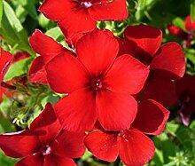 Farmerly 1100 Seeds of Phlox Red Phlox (Drummondii)