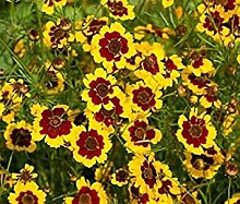 Farmerly 5000 Seeds of Coreopsis Plains (Coreopsis