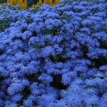 Farmerly Ageratum Blue Flower Seeds (Ageratum