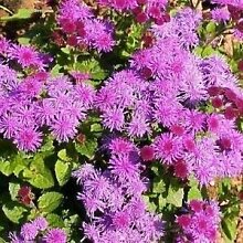 Farmerly Ageratum Pink Flower Seeds (Ageratum