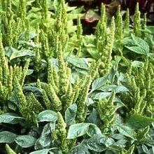 Farmerly Amaranthus Green Thumb Seeds (Amaranthus