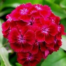 Farmerly Dianthus Oeschberg Flower Seeds (Dianthus