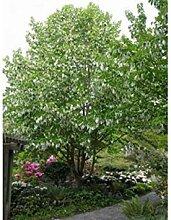 Farmerly Dove Tree Seeds, Davidia Involucrata
