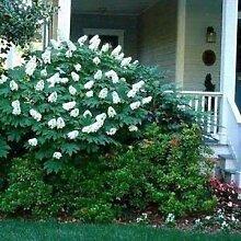 Farmerly Hydrangea Oakleaf Bush Seeds (Hydrangea