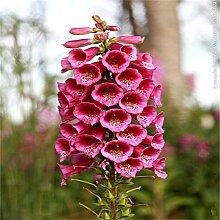 FARMERLY Samen Paket: Verkauf 100 PC Fritillaria