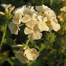 Farmerly Yellow Phlox Flower Seeds (Phlox