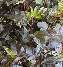 Fasanenspiere Diable d Or 80-100cm - Physocarpus