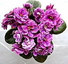 Fash Lady 100 STÃœCKE Mini Violet Samen African