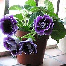 Fash Lady 2: Gloxinia Samen (Mischen) Blumentopf