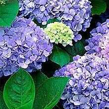 Fash Lady 20 stücke Hortensien Blumensamen
