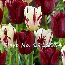 Fash Lady 3 Tulpenzwiebeln (Nicht Tulpen-Samen)