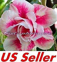 Fash Lady 5 Samen, Adenium Obesum Desert Rose
