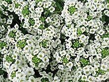 Fash Lady Alyssum Teppich von Schnee Nizza Garten