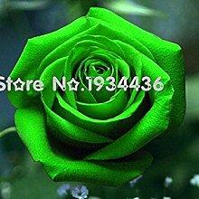 Fash Lady Chinesische grüne Rose Samen