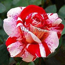 Fash Lady GenuineFlower Bonsai Holland Rose
