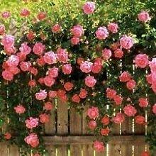 Fash Lady Rosa Kletterrose Laube Gitter Garten