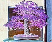 Fash Lady Seltene Blau Maple Seeds 20 stücke