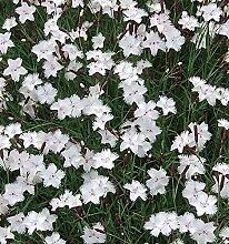Federnelke Greystone - Dianthus plumarius