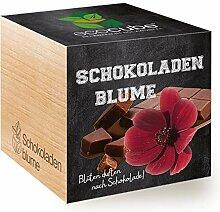 Feel Green Ecocube Schokoladenblume, Blüten