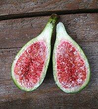 Feige Busch-Baum Peretta süß-aromatisch 60-100 cm violett-braun-rotes Exotisches Obst Gartenpflanze 1 Pflanze