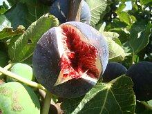 Feige Ficus carica 'Babits' rotbraun fruited Sorte, sehr kalte tolerant, architektonische Pflanze und leckere Früchte, Grow Your Own Feige Mediterraner Starter Pflanze