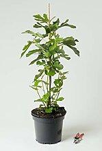 Feige - Ficus carica 40-60 cm hoch - Garten von