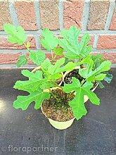 Feigenbaum Feige Ficus carica Frucht Pflanze 1stk.