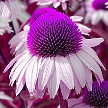 Fenido Echinacea Purpurea Samen Stauden Blume