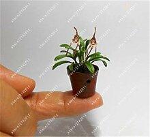 Ferry 100 PC/Bag Mini-Orchideen