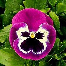 Ferry 100pcs / schöne Stiefmütterchen Pflanze