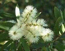 FERRY Keim Seeds: 100mg Samen von Weeping Willow