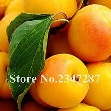 Ferry Sweet Fruit Apricot Tree Bonsai Plants for