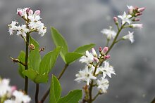 fertig im Pflanzkorb - Menyanthes trifoliata - Bitterklee - Fieberklee, weiß - Wasserpflanzen Wolff