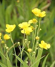 fertig im Pflanzkorb - Ranunculus lingua - winterhart - Sumpfhahnenfuß - Zungenhahnenfuß, gelb - Wasserpflanzen Wolff