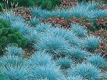 Festuca glauca 6 Stück Blauschwingel winterharte