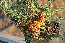 Feuerdorn 'Teton' - Kräftige Pflanze im