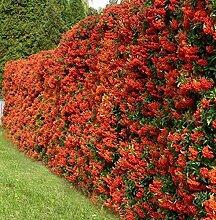 Feuerdorn, Feuerdornhecke, im Topf 40 - 60 cm