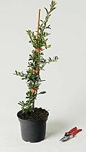 Feuerdorn Orange Charmer - Pyracantha Orange