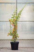 Feuerdorn Orange Glow, 100-125 cm, im Topf (7,5