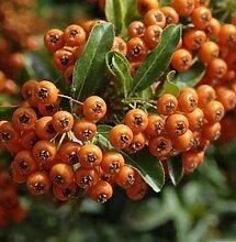 Feuerdorn Orange Glow 40-60cm - Pyracantha