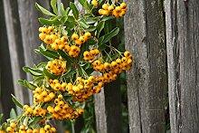 Feuerdorn Pflanze - Pyracantha Orange Glow -