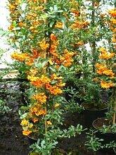 Feuerdorn Pyracantha Orange Charmer 80 cm hoch im