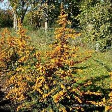 Feuerdorn Pyracantha Orange Glow 60/80 cm 2 L Co