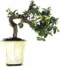 Feuerdorn, Pyracantha, Outdoor-Bonsai, 10 Jahre,