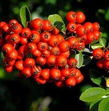 Feuerdorn Red Star® 40-60m - Pyracantha