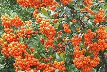 Feuerdornhecke orange im Topf/Container Größe 80