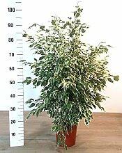 FICUS BENJAMIN VARIIEGATO, echte Pflanze