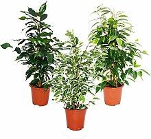 Ficus benjamini - 3er Set - Danielle - Anastasia -